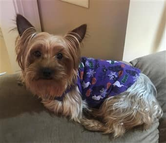 Yorkie sitting on back of sofa