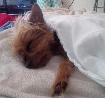 Yorkie sleeping under blanket