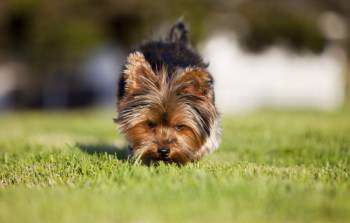how to pee pad train a yorkie puppy