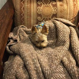 Yorkie on a chair