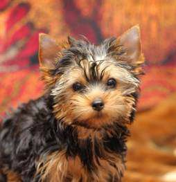 Teddy Bear Yorkie Yorkshire Terrier Information Center