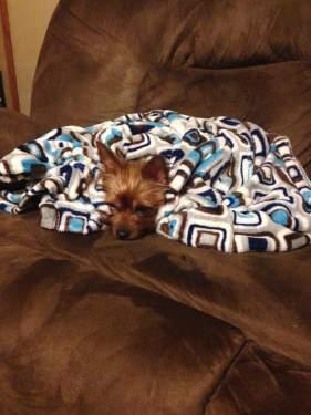 Yorkie under warm blanket