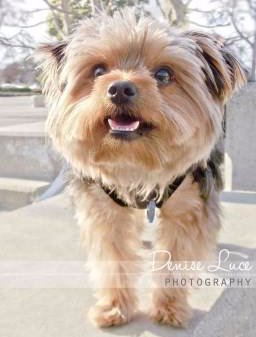 Yorkie with white clean teeth