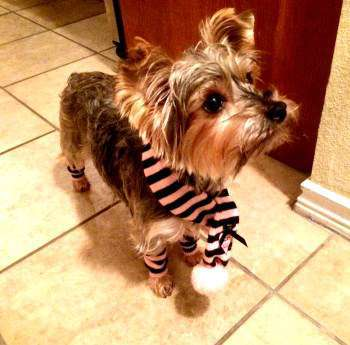 Yorkie dressed for winter