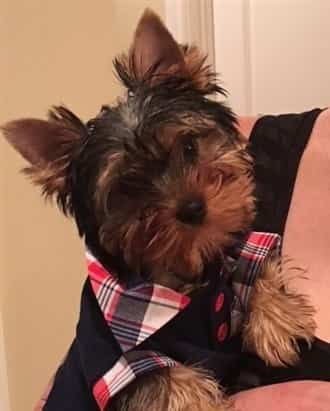 Yorkie with clean face