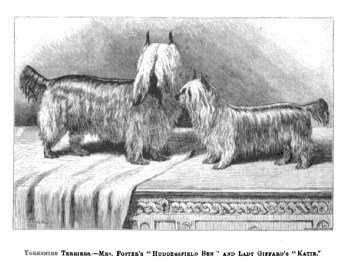 Yorkshire Terrier ancestor