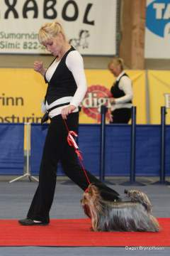 Yorkshire Terrier at dog show