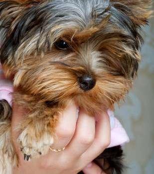 Yorkshire Terrier Kidney Failure Yeast infection yorkie...
