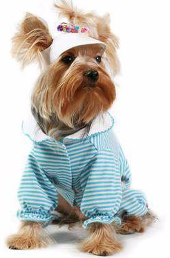 Yorkshire Terrier blog image