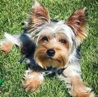 Yorkshire Terrier sitting on grass