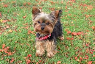 Yorkshire Terrier puppy autumn