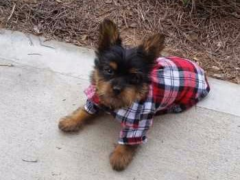 Yorkshire Terrier puppy with shirt on