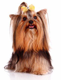 Yorkshire Terrier small mouth