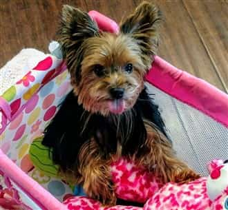 Yorkshire Terrier with thick hair