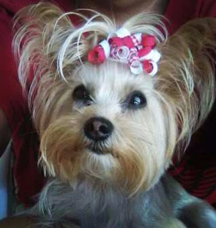Yorkshire Terrier with cute topknot bow