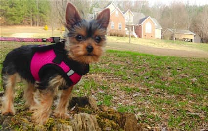 yorkshire-terrier-wearing-harness