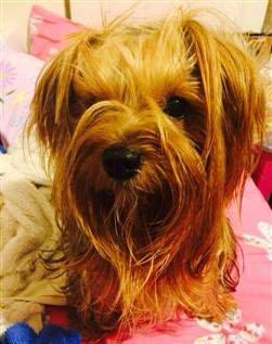 Yorkshire Terrier whispy bangs