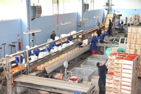 produzione industriale carote