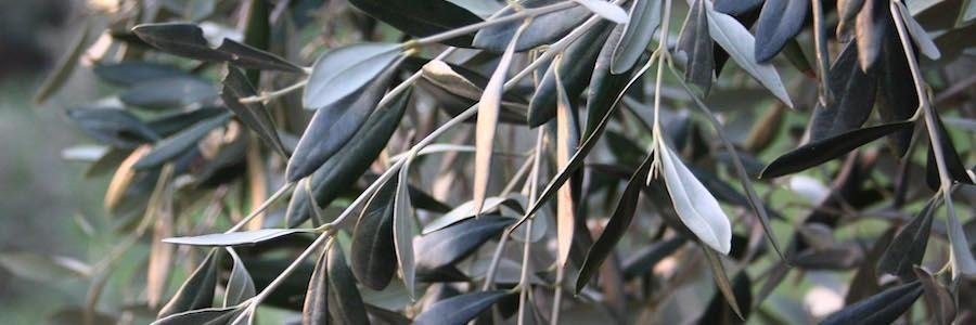 olio extravergine di oliva toscana.jpg