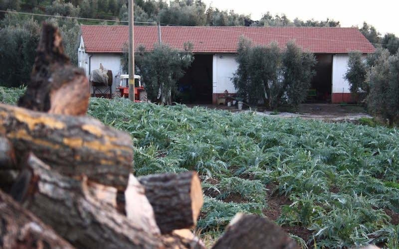 raccolta olive campiglia marittima