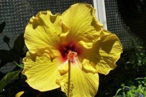 piante di ibisco
