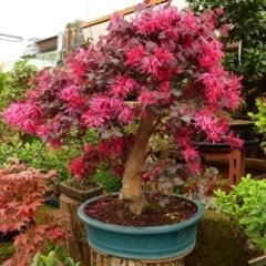 bonsai fioriti