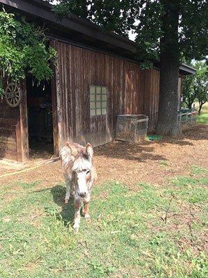 un asino davanti una stalla