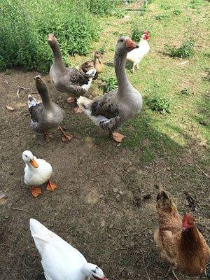 delle oche e delle galline