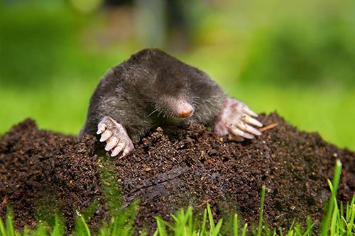 Mole in molehill showing claws