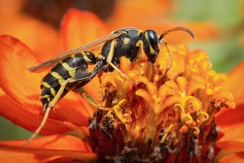 Wasps pest control offered by Redwatch Solutions