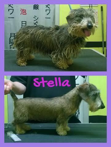 Lo Skye Terrier prima e dopo Il taglio a Abbadia San Salvatore