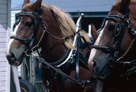 Well-trained horses for carriage pulling