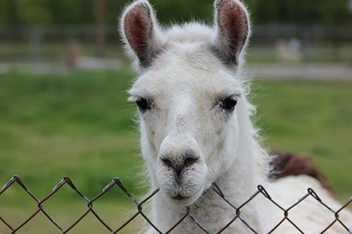 New Zoo Animals - Llama at Space Farms Zoo