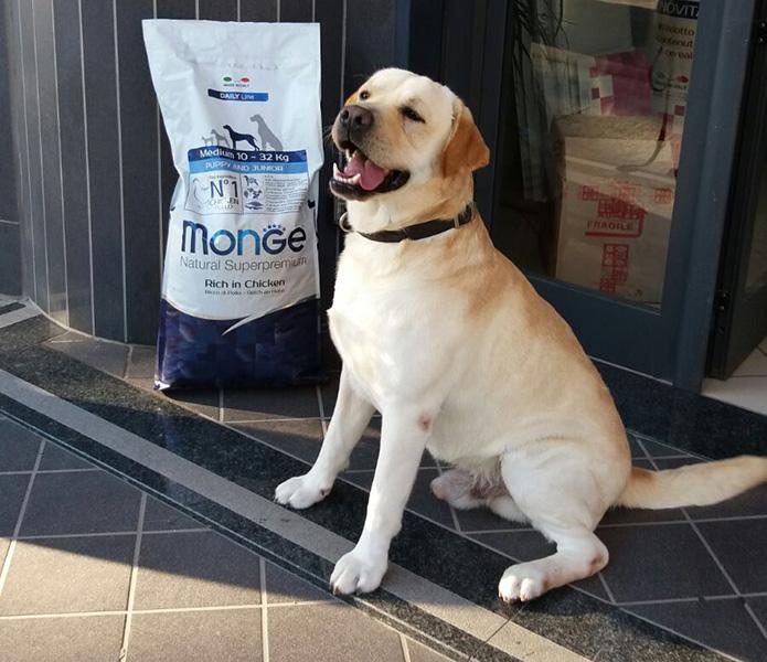 Cane Labrador nel negozio The Animal Friend a Cardito