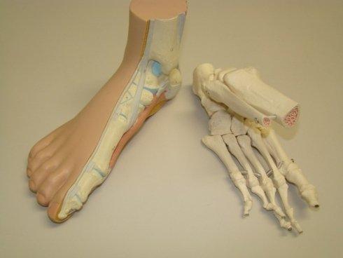 Struttura ossea del piede
