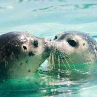 foche innamorate
