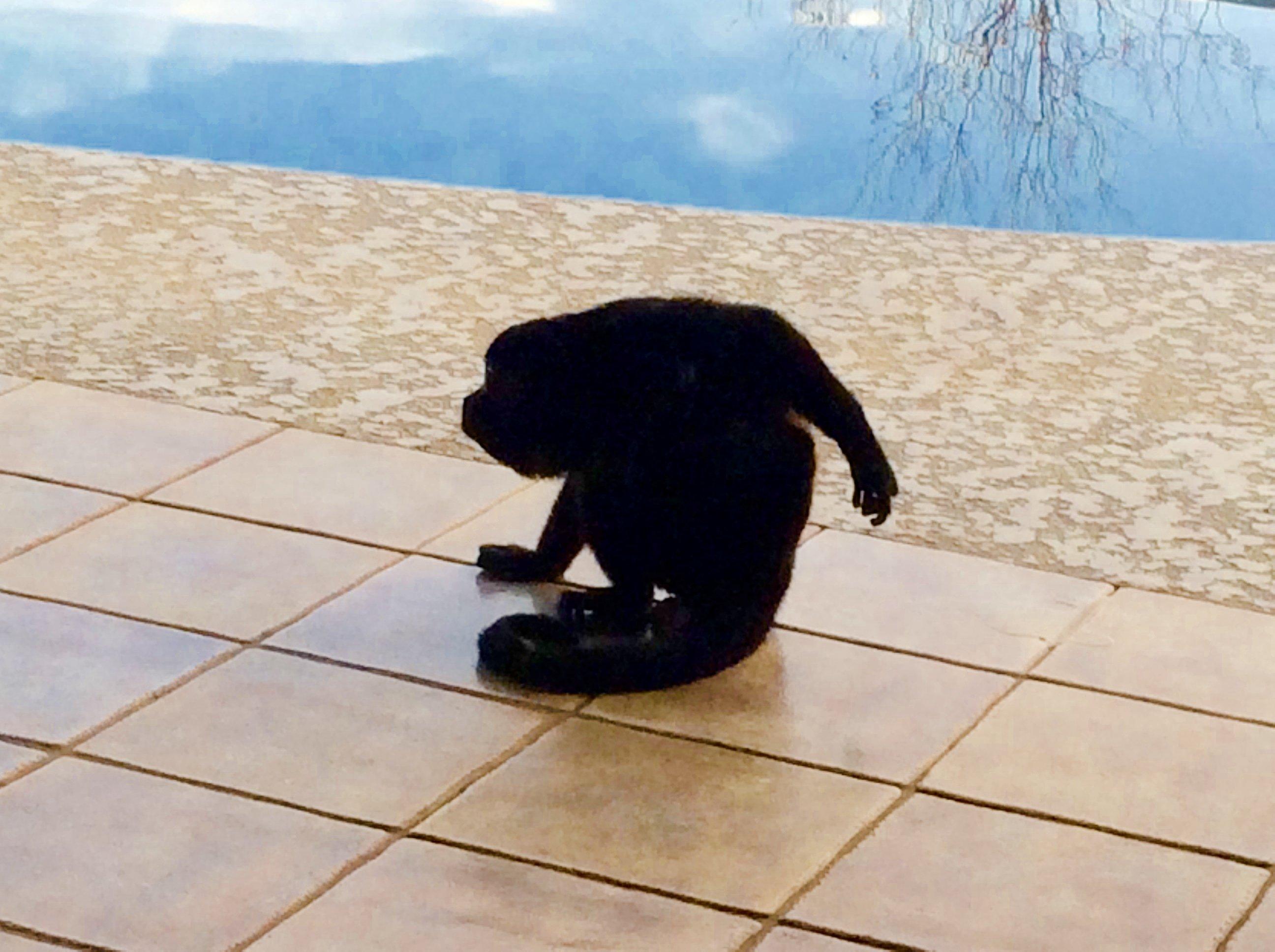 Marcel our resident Howler Monkey