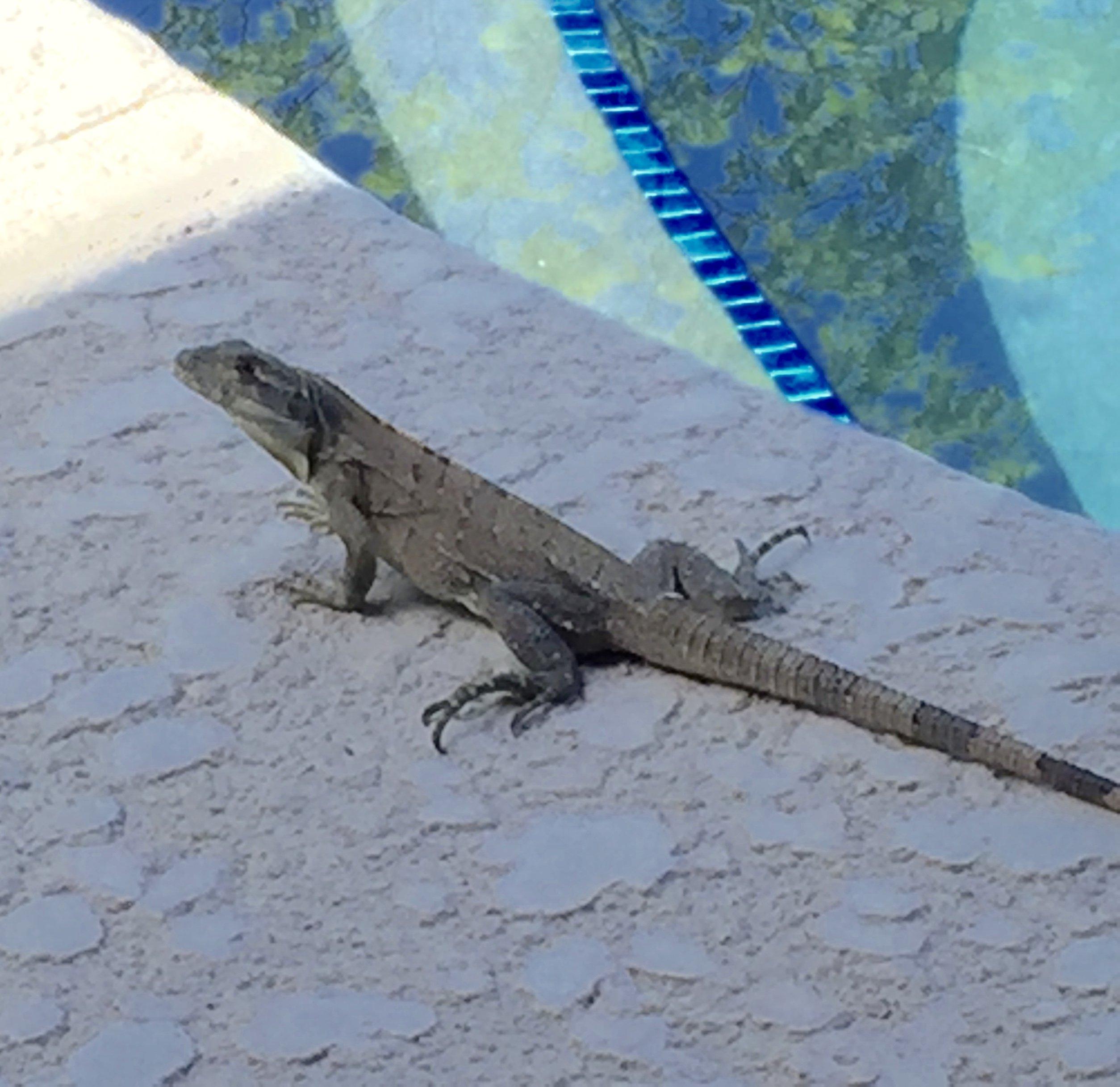 Larry the lizard... actually he's an Iguana.