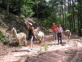 Waldwandern mit Alpakas und Eseln