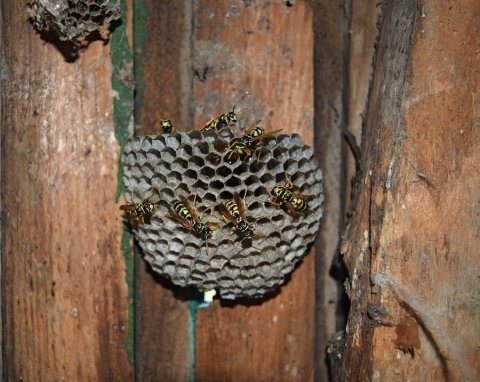 snidamento vespe
