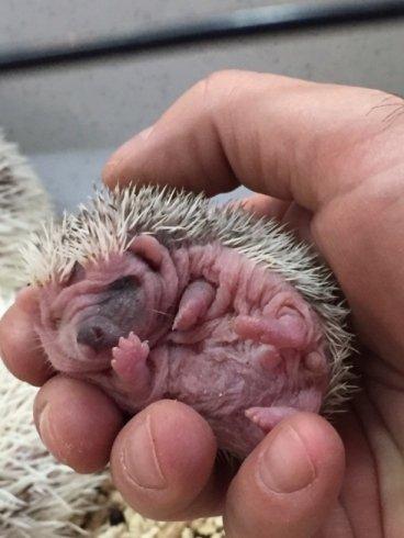 riccio appena nato tenuto all'interno di una mano