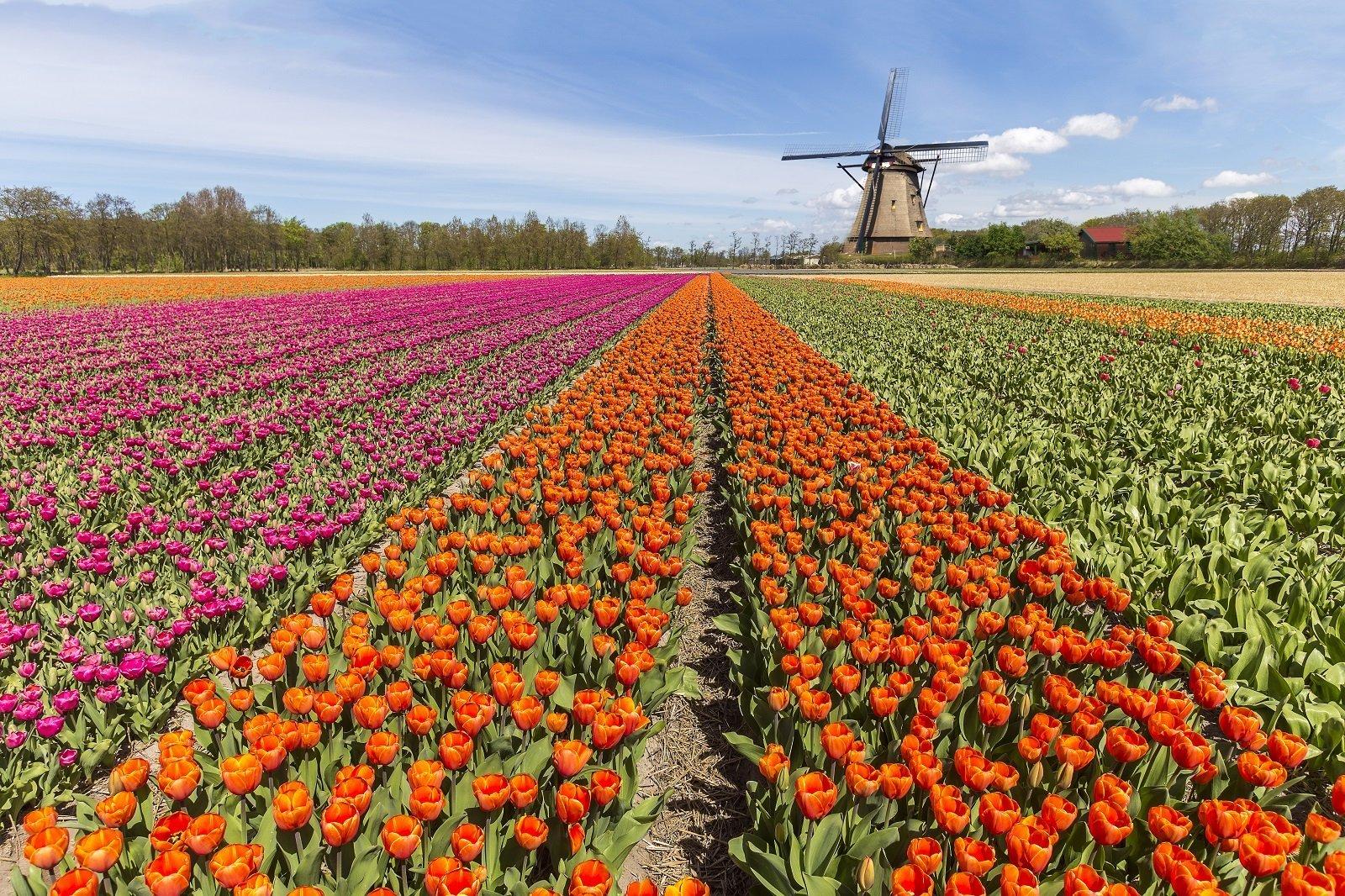 un prato con una distesa di tulipani colorati
