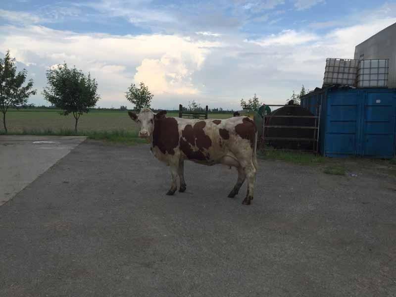 latte di bufala della Lombardia