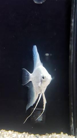 un pesce Scalare di color bianco