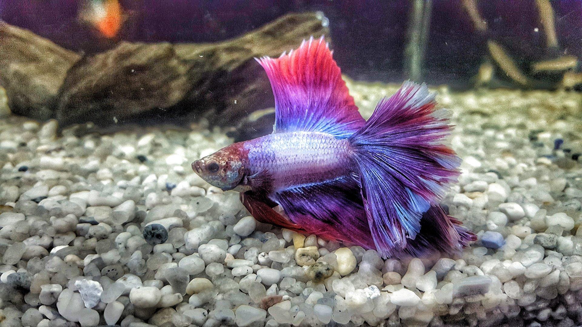 un pesce in un acquario di colore rosso e blu