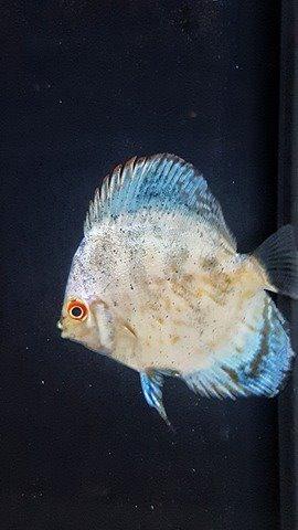 un pesce bianco con pinne azzurre