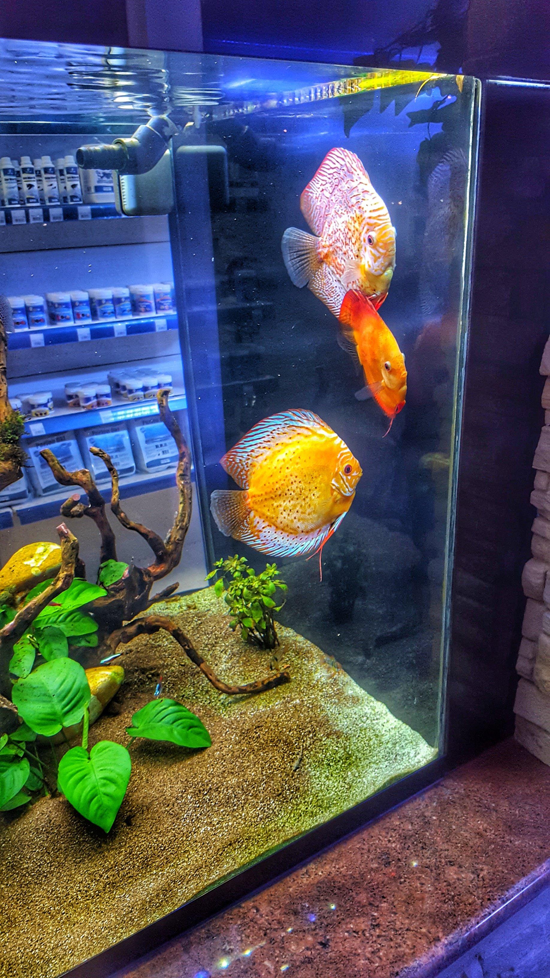 un acquario con tre pesci arancioni