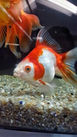 un acquario con un pesce rosso di colore bianco e rosso