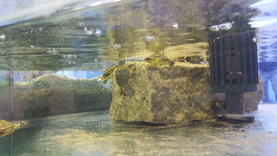 delle tartarughe in un acquario
