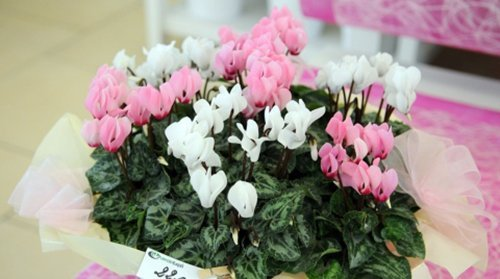 Piante di ciclamini bianchi e rosa